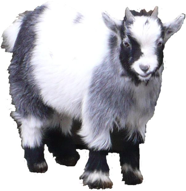 Lane Ends Pygmy Goats